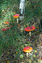 Free Fly Agaric Mushrooms In A Forest . Royalty Free Stock Image - 26775916