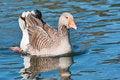 Free Wild Goose Royalty Free Stock Image - 26777976