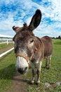 Free Donkey Royalty Free Stock Photography - 26779347