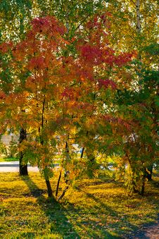 Free Trees Reddened In Autumn Royalty Free Stock Photo - 26770255