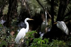 Free Eastern Great Egret Stock Image - 26773041