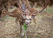 Chital Stock Images
