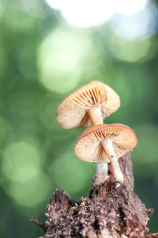 Free Mushroom Galerina Royalty Free Stock Images - 26777069