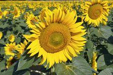 Free Sunflower Stock Photos - 26777483
