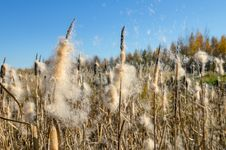 Free Flying Cattail Fluff. Royalty Free Stock Images - 26778179