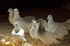 Free White Pigeons In A Corral Royalty Free Stock Image - 26778326
