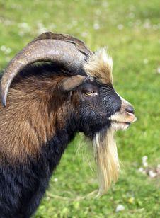 Free Goat Stock Photo - 26779380