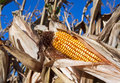 Free Ear Of Corn Royalty Free Stock Images - 26781879
