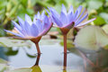 Free Beautiful Lotus Flower Stock Photography - 26789182
