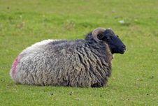 Free Sheep Stock Image - 26780081