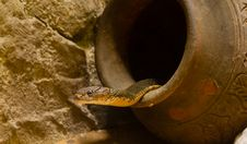 Free King Cobra In The Jar Royalty Free Stock Photography - 26780547