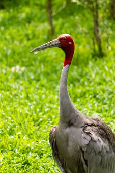 Free Eastern Sarus Crane Royalty Free Stock Photo - 26781825
