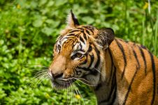 Free Tiger Stock Photography - 26781882