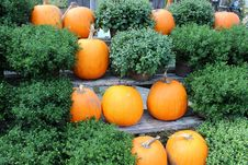 Pumpkins And Hardy Fall Mums Royalty Free Stock Photography