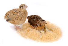 Free Quail Stock Photography - 26788942
