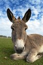 Free Donkey Royalty Free Stock Photos - 26794138