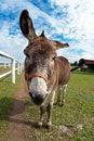 Free Donkey Royalty Free Stock Images - 26795189