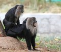 Free Threatened Endemic Indian Ape- Lion Tailed Macaque Royalty Free Stock Images - 26799559
