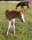 Free Foal With Mare Stock Photography - 26799812