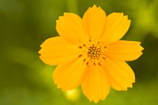 Free A Cosmos Flower Royalty Free Stock Images - 26791979