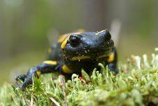 Free Salamander Stock Photography - 26794032