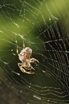 Spider In Net Royalty Free Stock Photo