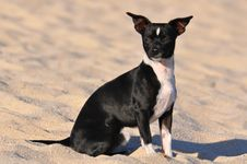 Free Black And White Chihuahua Royalty Free Stock Image - 26797306