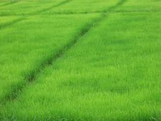 Free Ricefield Stock Image - 26799121