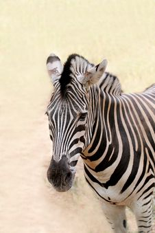 Free Closeup Photo Of African Wild Animal - Zebra Royalty Free Stock Images - 26799549