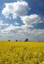 Free Landscape - Yellow Field Stock Photo - 2681450
