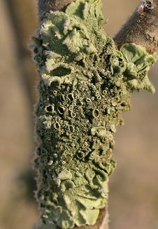 Free Green Lichen Royalty Free Stock Image - 2680096