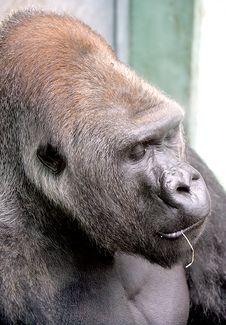 Free Gorilla 14 Stock Photo - 2680100