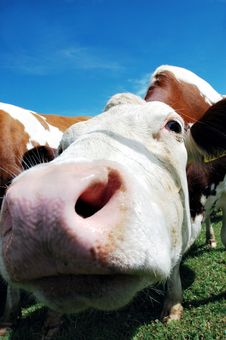 Free Cows Stock Photo - 2680590