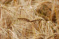 Wheat Close-up Stock Image