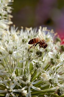 Pollination In Action Royalty Free Stock Photography