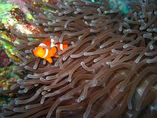 Free Tropical Clown Fish Stock Photos - 2684253