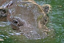 Submerged Hippo Royalty Free Stock Image