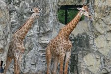 Free Giraffe Stock Photography - 2684622