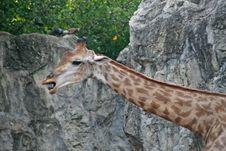 Free Giraffe Stock Photos - 2684623