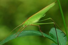 Free Tiny Green Color Grasshopper Royalty Free Stock Photos - 2684688