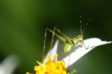 Free Tiny Green Color Grasshopper Stock Images - 2684694