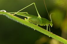 Tiny Green Color Grasshopper Stock Image