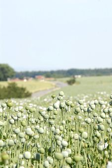 Free Field Of Poppy Royalty Free Stock Image - 2684846