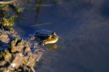 Free Frog Stock Photo - 2685810