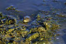 Free Frog Stock Photo - 2685830