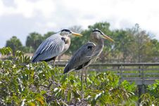 Free Nesting Blue Herons Stock Images - 2686214
