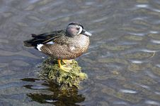 Free Blue Wing Teal Duck Stock Photo - 2686300
