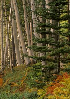 Free Birch Forest Royalty Free Stock Photo - 2688045