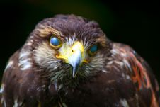 Free Red Tailed Hawk Royalty Free Stock Image - 2688366