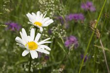 Wild Flowers With Daisy Royalty Free Stock Photo